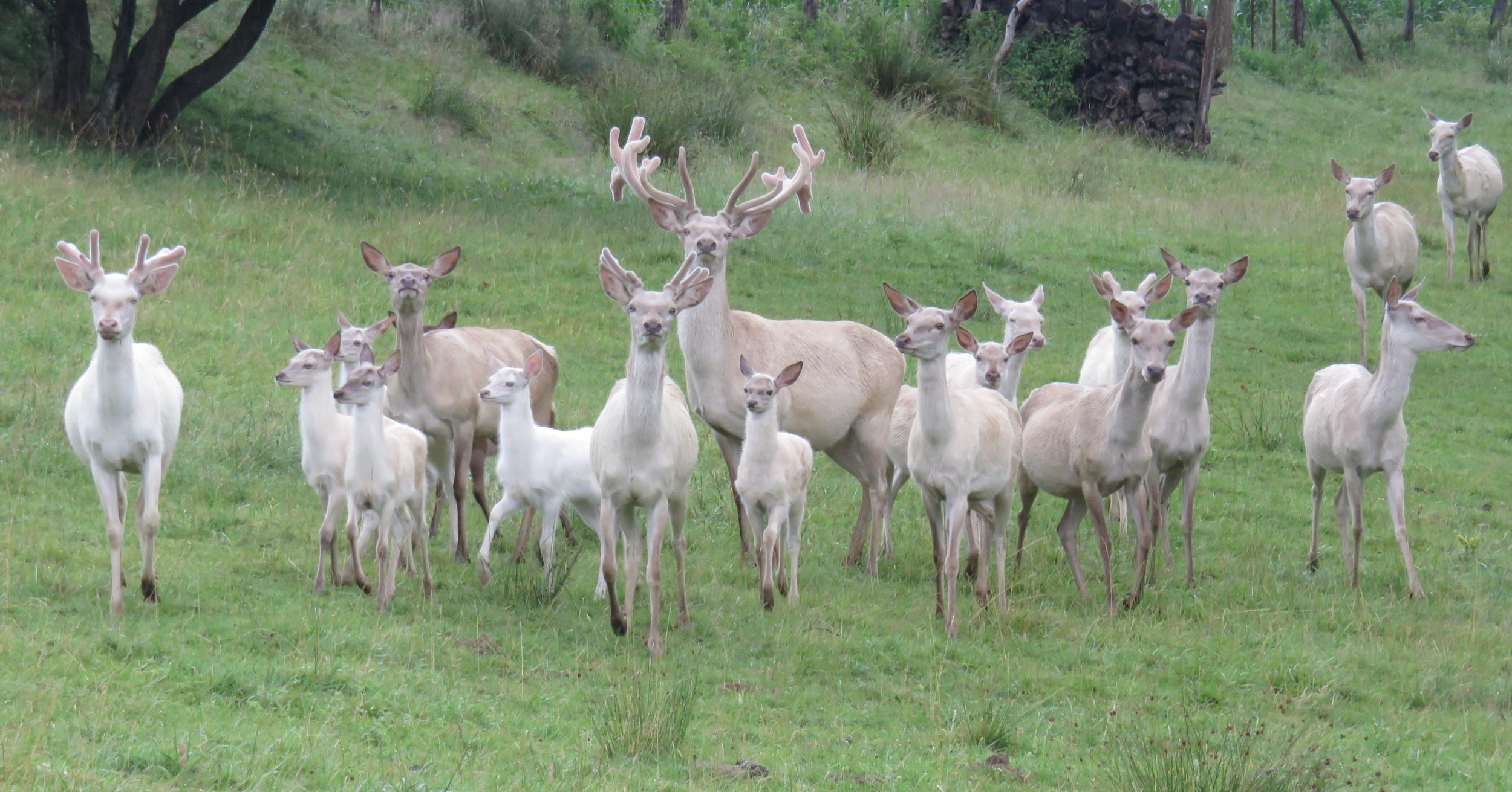 Groupe Cerfs et Biches Blancs