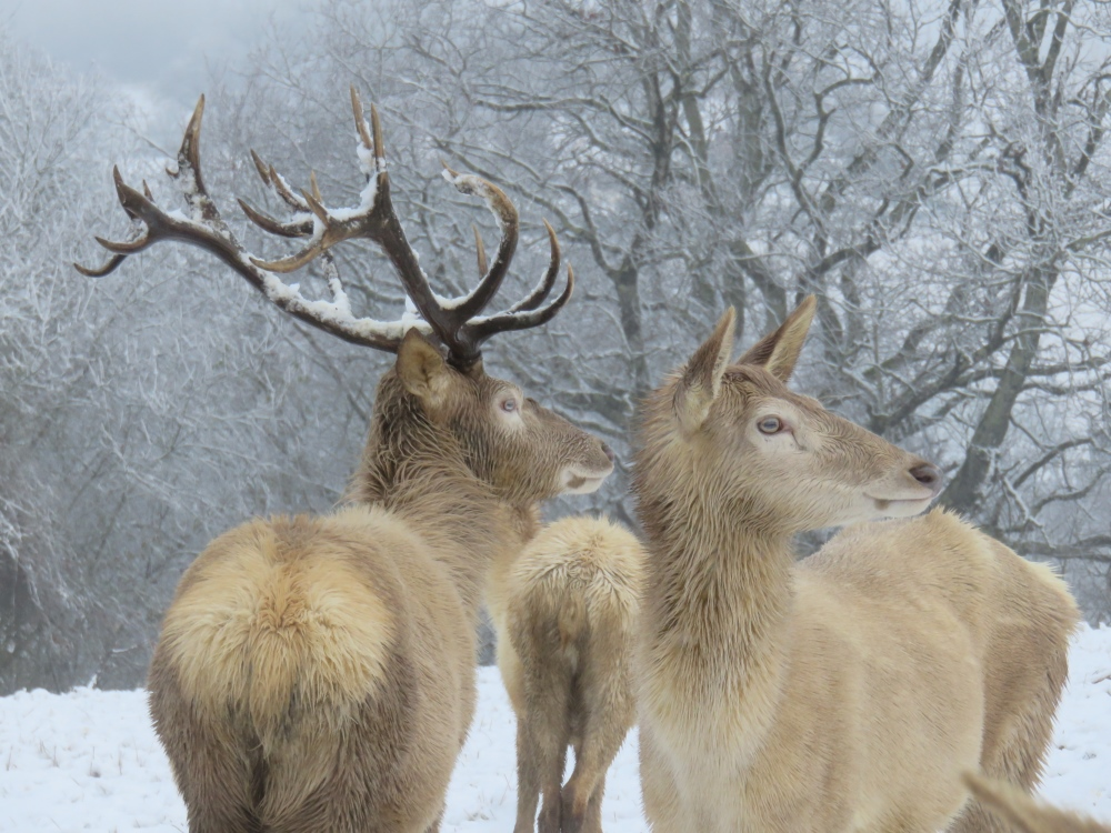 Cerfs et Biches Blancs dans la neige