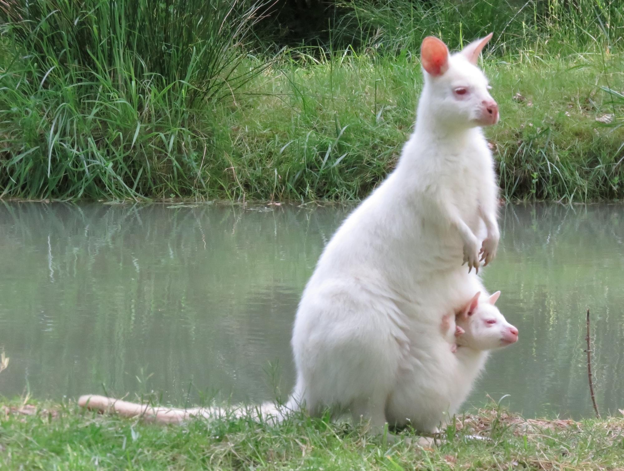 maman wallaby blanc et petit