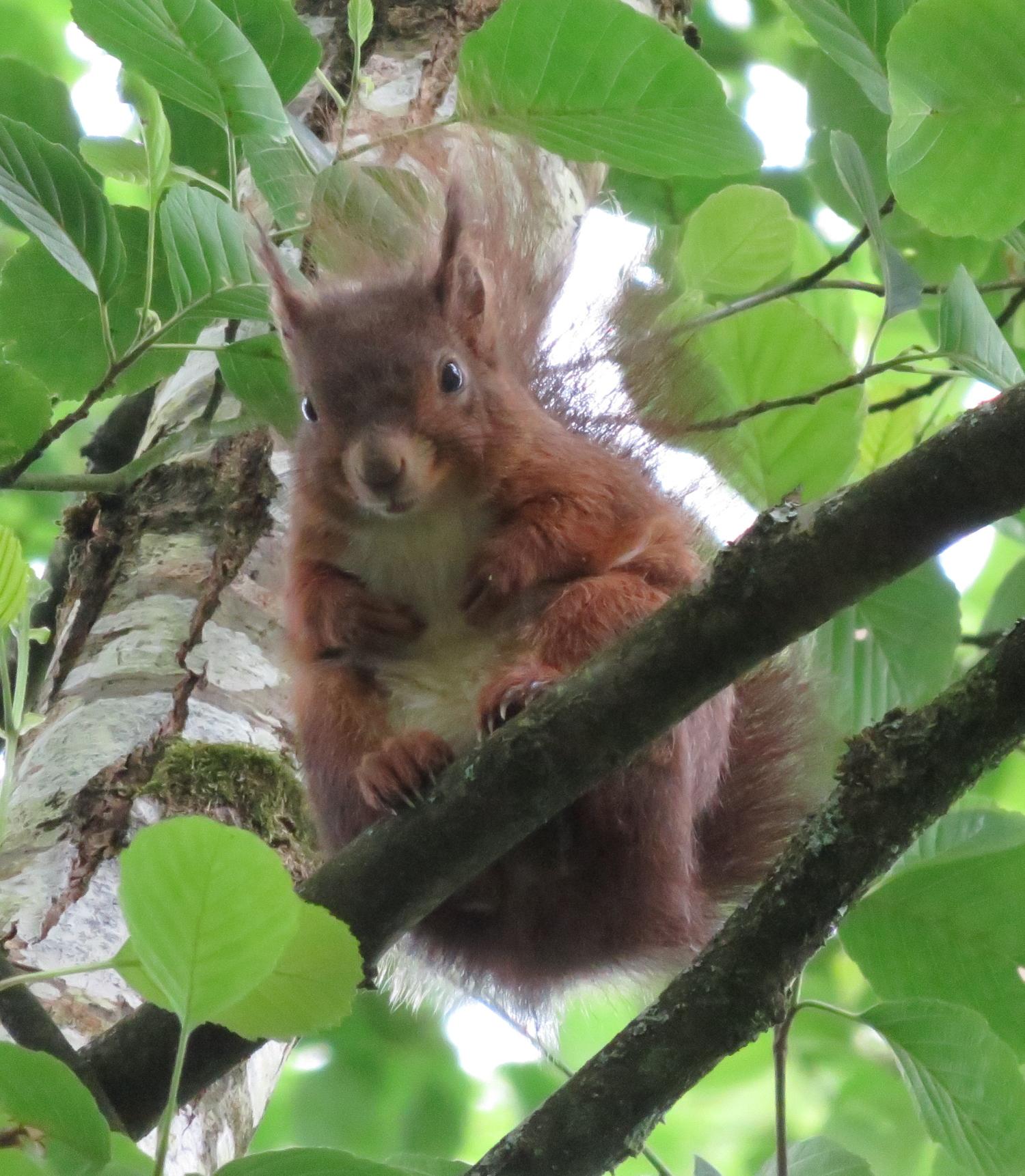 bel écureuil