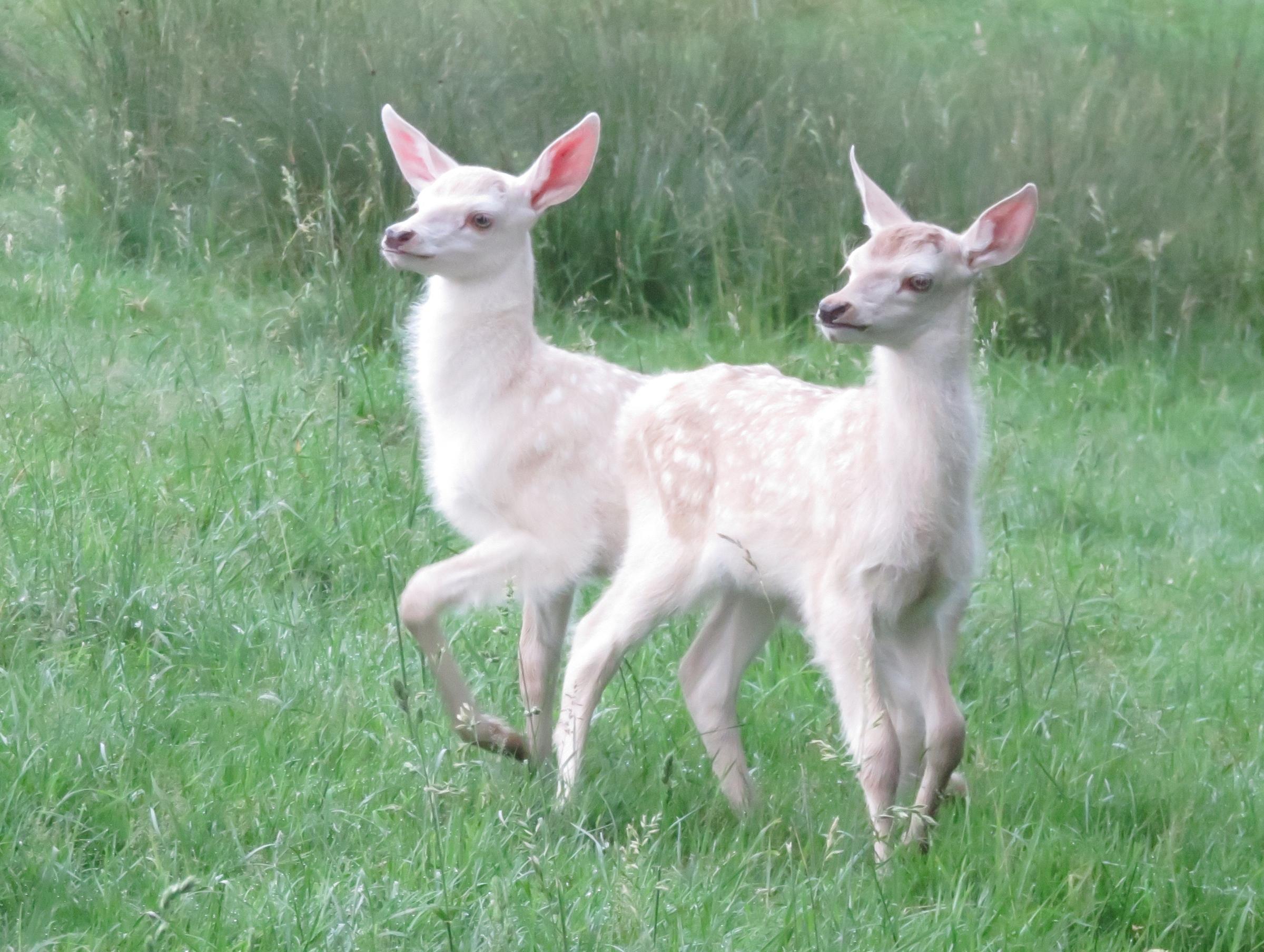 Jumeaux faons blancs