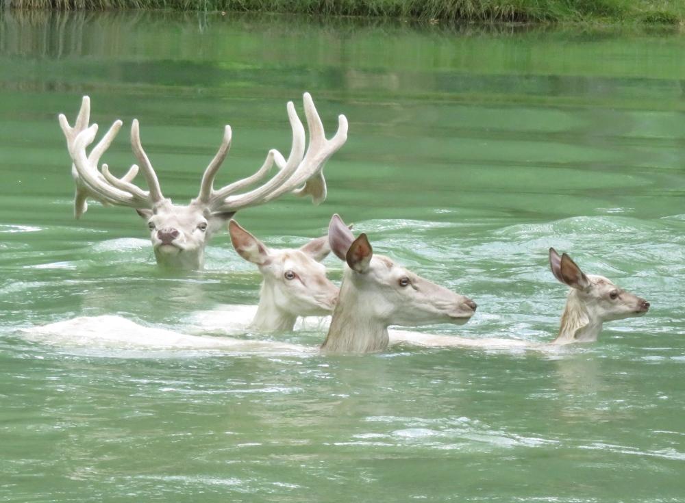 Cerfs et Biches blancs dans l'eau