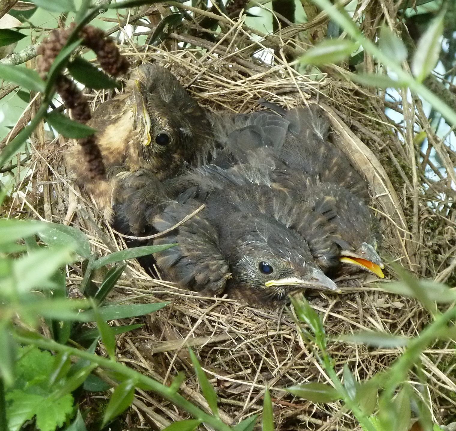 oisillons dans nid