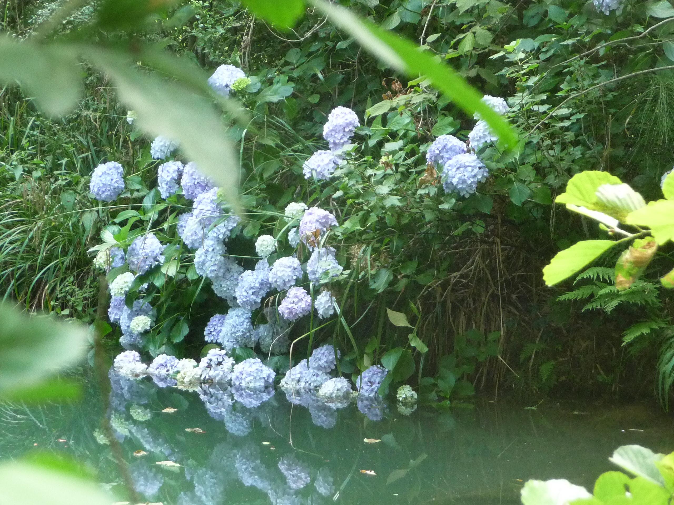 hortensias et rivière
